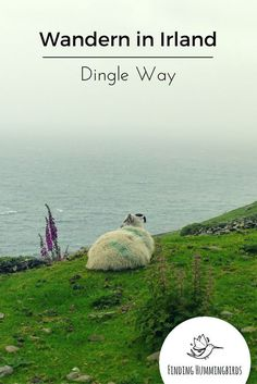 Irlands Dingle Halbinsel ist rau und wunderschön. Die hier vorgestellte Wanderung von Dingle Stadt nach Dunquin ist  eine der schönsten Teilabschnitte des Dingle Way.  http://findinghummingbirds.de/wandern-irland-dingle-way-abschnitt-dingle-dunquin/