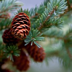 Our Pine Cones fragrance oil captures the unmistakable scent of a fresh cut pine bough and pine cone wreath. Notes of balsam and patchouli combine with natural spruce and cedar oils to instantly put you in a holiday frame of mind.  This fragrance oil is infused with natural cedar wood, and spruce essential oils.