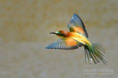 Beeeater by Dionys Moser
