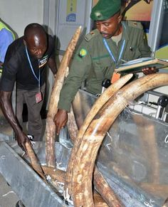 Nairobi - A Chinese smuggler caught in Kenya with a haul of ivory was fined less than a dollar a piece, wildlife officials said on Tuesday
