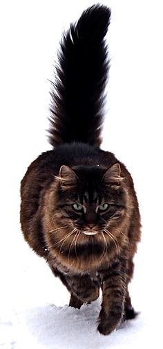 I think Annie has a little Maine coon in her from somewhere way back.... #maine_coon #cats                                                                                                                                                      Mais