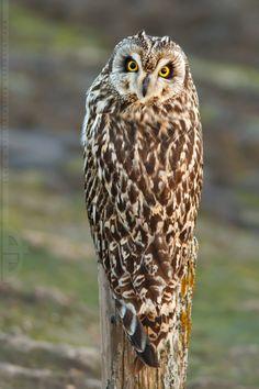 ⊙_⊙corujas - ~What Owl, where? ~ Short-eared owl (Asio Flammeus) by thrumyeye~~ Owl Photos, Owl Pictures, Beautiful Owl, Animals Beautiful, Short Eared Owl, Photo Animaliere, Wise Owl, Owl Bird, Mundo Animal
