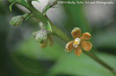 Encyclia Maculosa Orchid Fine Art Photo Print by BeckyTylerArt