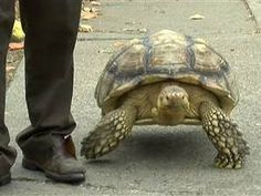 Doctors Have Replaced This Tortoises Amputated Leg With A Caster - Injured tortoise gets set lego wheels help move