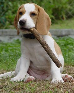 1000+ ideas about Lemon Beagle on Pinterest   Beagles, Beagle ...