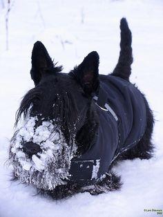 Scottish Terrier in Snow
