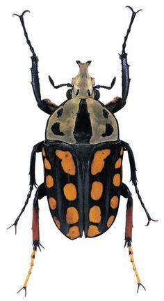 Amaurrodes passerinii/Tanzania/3cm // photo by Poul Beckman