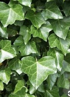 strand of English Ivy 🌿Rooted Cuttings (Hedera Helix)Hardy Ground cover 🦋 Ivy Plants, Indoor Plants, Hedera Helix, Landscape Services, Plant Cuttings, Flower Backgrounds, Back Gardens, Hanging Plants, Houseplants