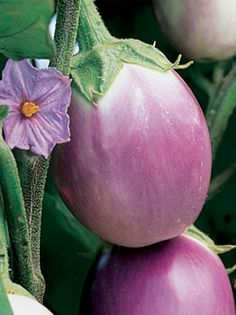 Eggplant, Rosa Bianca Italian heirloom Rosy-lavender with white shading, fruits long.