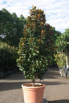 71 Best Little Gem Magnolias Images In 2013 Magnolia Trees