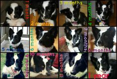 Maki the border collie's first year :)