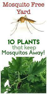 Keep your yard and garden mosquito free! Here are 10 plants that will help keep those pesky insects away naturally. #site:backyardgarden.website