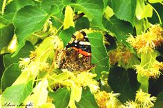 #butterfly #farfalla #nikon #nikonD5200 #tokina #myedit