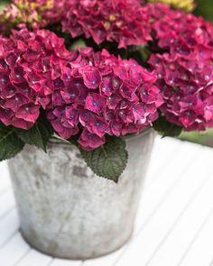 Trädgårdsflow: Spring and summer at the same time here Purple Flower Arrangements, Purple Flowers, Hortensia Hydrangea, Hydrangeas, Growing Raspberries, Raised Bed Garden Design, Growing Succulents, Container Plants, Backyard Landscaping