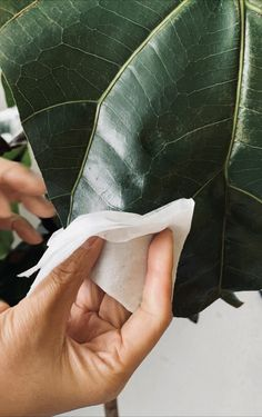 Is Trimming Brown Edges on Fiddles okay? — La Résidence · Plant Care Tips and More Fig Plant Indoor, Indoor Plants, Fig Leaves, Plant Leaves, Plant Delivery, Fiddle Leaf Fig, Natural Curves, Brown Spots, Natural Shapes