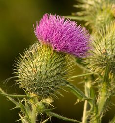 Milk Thistle – can help support the liver