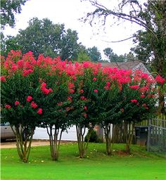 Crape Myrtles are one of many ornamental trees that are easy to grow from cuttings. Crape myrtle cuttings can be taken from stems, shoots o. Trees And Shrubs, Flowering Trees, Trees To Plant, Privacy Landscaping, Front Yard Landscaping, Crepe Myrtle Landscaping, Landscaping Ideas, Privacy Ideas For Backyard, Dwarf Trees For Landscaping
