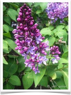 45 Best Lilac Varieties Images Lilac Varieties Lilac