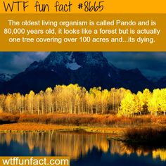 WTF Facts - Page 14 of 1298 - Funny, interesting, and weird facts OH NO! WE NEED TO SAVE PANDO! (if you dont get what pando is, im guessing its the asen trees in the picture. They are actually one organism. Wow Facts, Wtf Fun Facts, Amazing Facts, Interesting Facts, Crazy Facts, Random Facts, Funny Facts, Random Stuff, Cool Places To Visit