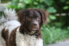 images of beautiful dogs | Beautiful Wetterhoun dog photo and wallpaper. Beautiful Beautiful ...