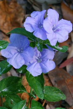 Carolina Wild Petunia - might grow well here! Pretty Flowers, Wild Flowers, Making A Bouquet, Wildflower Seeds, Spring Has Sprung, Flowering Trees, Petunias, Fruit Trees, Native Plants