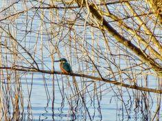 Martin pescatore sul Lago di Garda [foto Csilla Osvath]