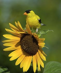 Finch on a Flower by Eileen Sabes on Capture Minnesota // As the American goldfinch started to stomp down the flower pedals to get to the seeds, he stopped for a quick pose