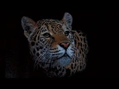 Drawing a Tiger using colored pencils on black paper - YouTube