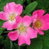 Escaramujo (Rosa canina) planta medicinal rica en vitamina C