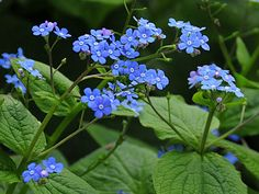 flowers zone 3 | This woodland plant is valued for its flowers and ground covering ...