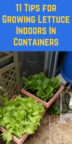 Growing Herbs, Growing Flowers, Growing Vegetables, Amazing Flowers, Pretty Flowers, Gardening For Beginners, Gardening Tips, Growing Lettuce, Diy Garden Projects