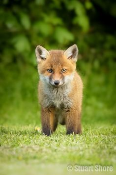 A Red Fox Cub.                      (Photo By: Stuart Shore on 500px.)