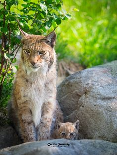 ~~Mother and child | Lynx Cub and Mom | by nemi1968~~