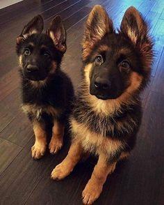 Hi pet lovers, buy all pet products at one place. https://www.marshallspetzone.com/13-Dog #germanshepherd