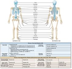 (a) Anterior and (b) posterior views compare the axial and appendicular components of the skeleton. The axial skeleton is colored blue and the appendicular skeleton is colored tan. Axial Skeleton, Radiologic Technology, Cervical Vertebrae, Skeleton Anatomy, Scapula, Body Anatomy, Anatomy And Physiology, Medical School, Biology