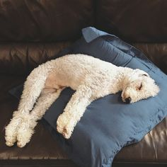 White poodle sleeping on sofa Like Animals, Animals And Pets, Baby Animals, Puppy Pictures, Service Dogs, Beautiful Dogs, My Animal, Dog Life, Funny Dogs