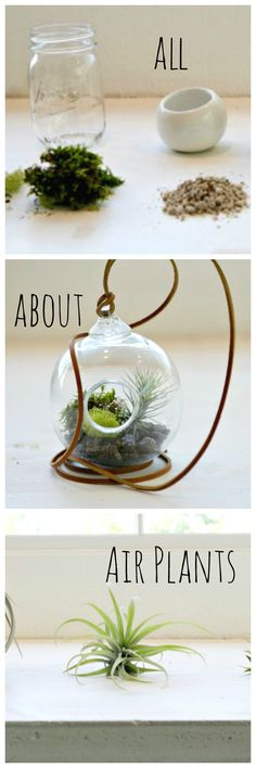 Air Plants: how to plant them and keep them alive!