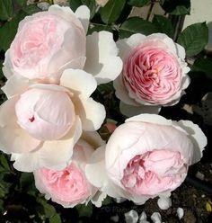 old english cabbage rose