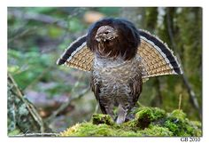 Ruffed Grouse (Bonasa umbellus) lives in forests from the Appalachian Mountains across Canada to Alaska.