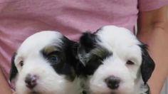 【ヤバイ!キュン死する】萌え〜♪超かわいい♪チャイニーズクレステッドドッグの赤ちゃん(Cute puppy /귀여운 강아지 / chiot m...
