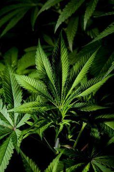 #marijuana #plant