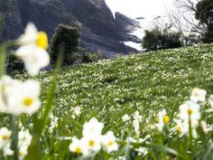 越前水仙  | 観光スポット|福井県観光情報ホームページ ふくいドットコム