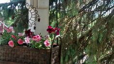 Petunias Container Gardening