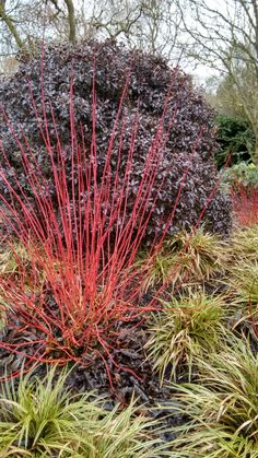 Great winter colours: red dogwood, varigated flax lily and Pittosporum tenuifolium 'tom thumb'.