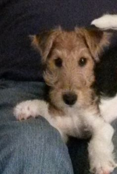 Our baby girl Charlie..4 months.... Wirehair fox terrier