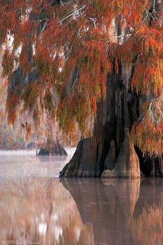 Bald Cypress in fall