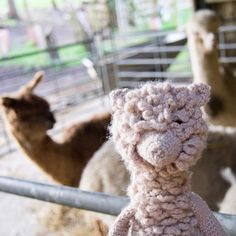 We're excited to say we've got some brand NEW fine alpaca yarn arriving here next week. These very limited edition batches are made exclusively from the fleeces of our own TOFT herd. Standby for more info once I've got my hands on it- looking forward to designing something pretty special! #alpaca #alpacas #toftuk #edsanimals #quinnthealpaca