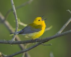 Male Prothonotary Warbler(Protonotaria citrea) singing at Magee Marsh. Environmentalist, High School Students, Conservation, Ontario, Youth, Birds, Yellow, Nature, Blog