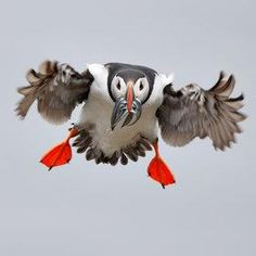 incoming puffin...