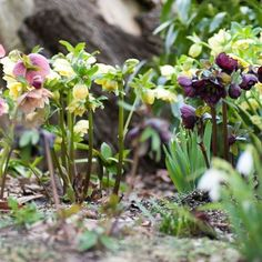 Winter is the season most commonly associated with hellebores. However they are still providing quite a show in early spring. This particular photograph was taken a few weeks ago when the hellebores were still at their peak. #dontforgetusjustbecauseitsspring  #hellebores #helleborus #helleboresinaustralia #macedonranges #gardening
